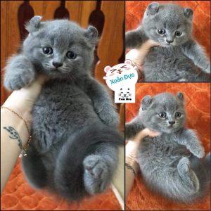 Một số đặc điểm của mèo anh lông ngắn (aln) thuần chủng