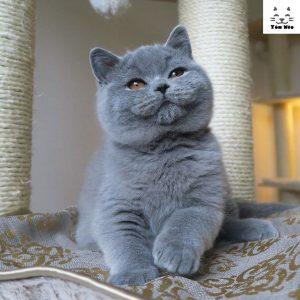 Một chú mèo anh lông ngắn (aln) được coi là thuần chủng