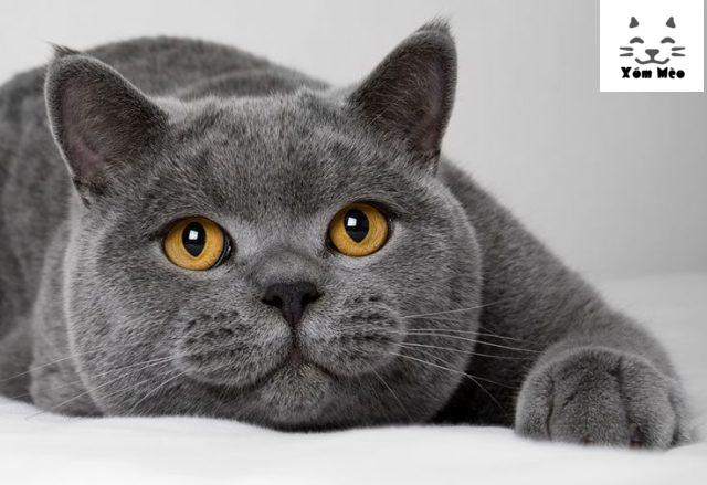 mèo anh lông ngắn tên tiếng anh là gì ?