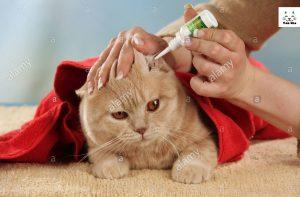 chăm sóc và vệ sinh tai cho mèo anh lông ngắn (aln)
