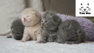 Cần Tìm mua Mèo Anh Lông Ngắn Bristitsh Shorthair ALN tại Lạng Sơn & Móng Cái