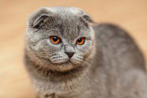 Một chú mèo tai cụp có màu xám xanh