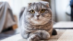 chăm sóc mèo tai cụp như nào