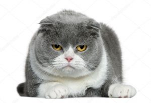 tính cách của mèo tai cụp