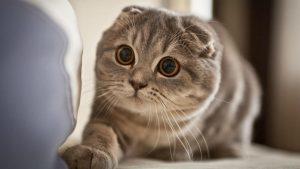 bảng giá mèo tai cụp